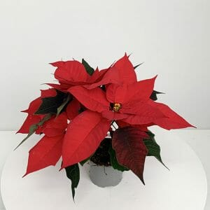 POINSETTIAS P9